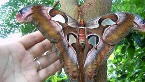 Atacos atlas - one of the largest moths in the world