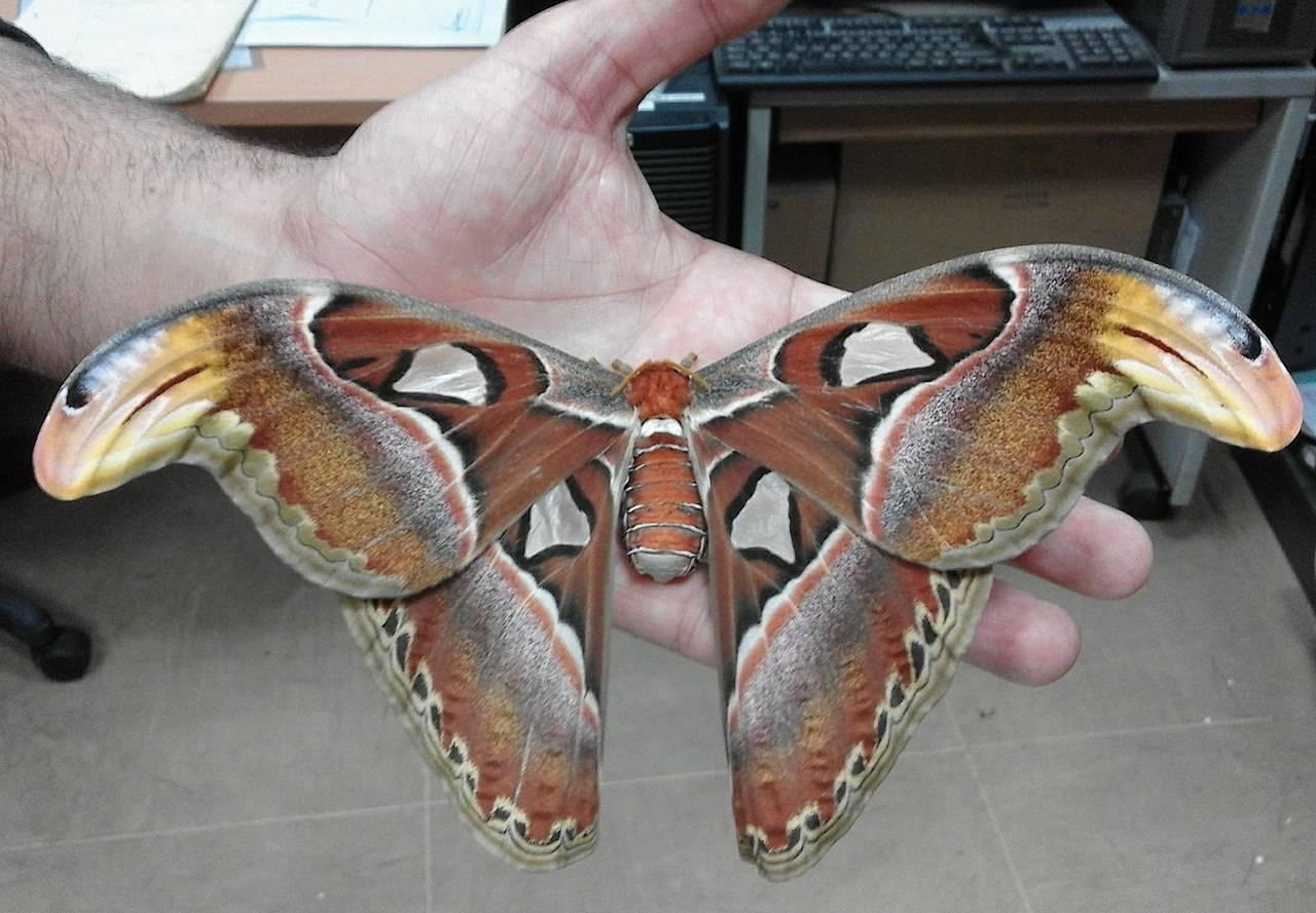 Atacos-atlas-moths-