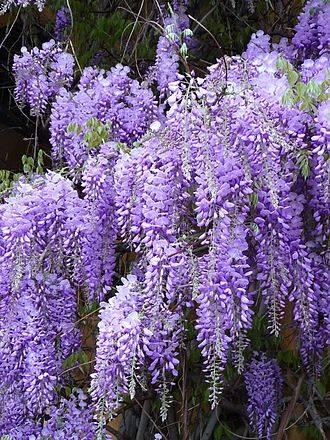 Wisteria trees, flowers & plants