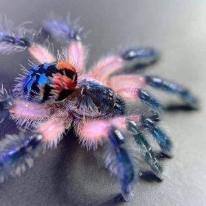 Brazilian jewel tarantula - aka candy shop spider and jeweled pink toe (1)