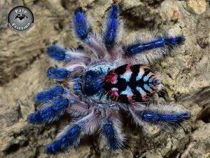 Tarantulas - the brazilian jewel tarantula