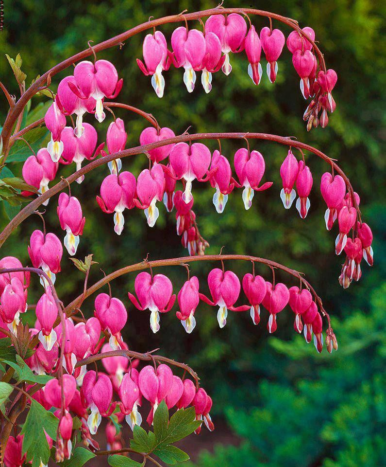 bleeding hearts flowers seeds buy