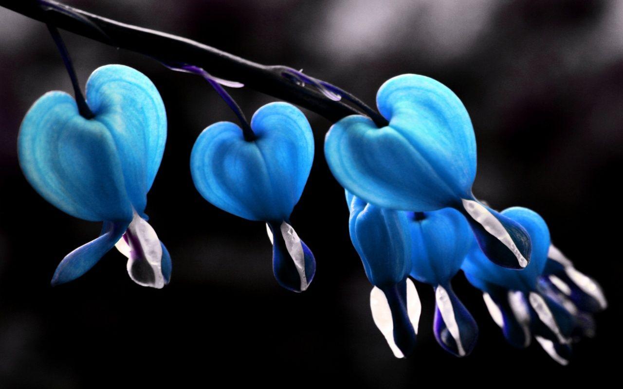 blue bleeding hearts flowers seeds buy