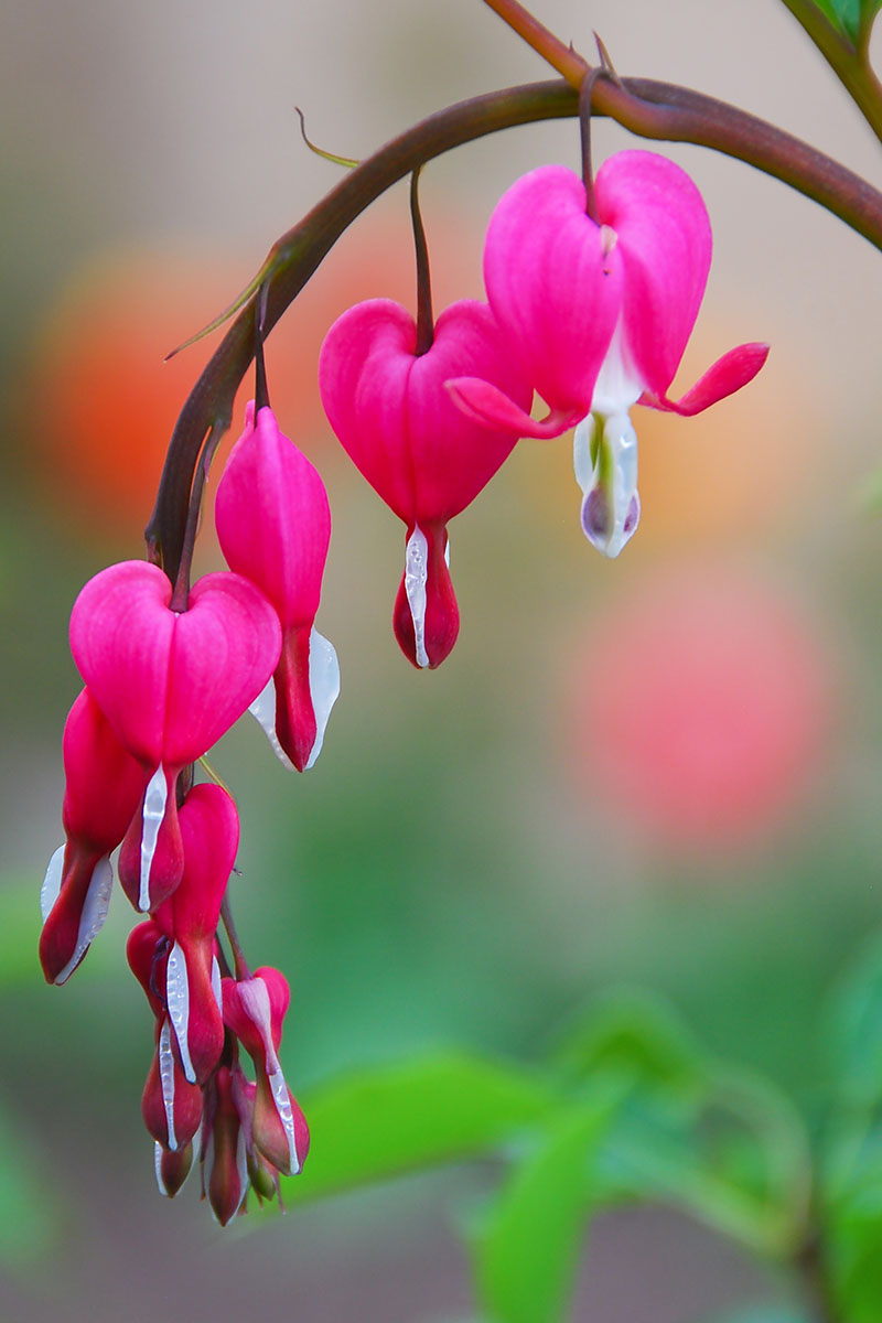 Bleeding Heart Flowers & Plants – Lamprocapnos Spectabilis