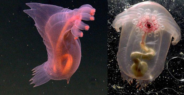Pink See-through Fantasia – Strange Sea Creatures