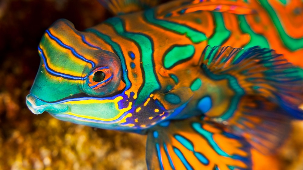 The Mandarin Fish – The Most Colourful Fish In The Ocean