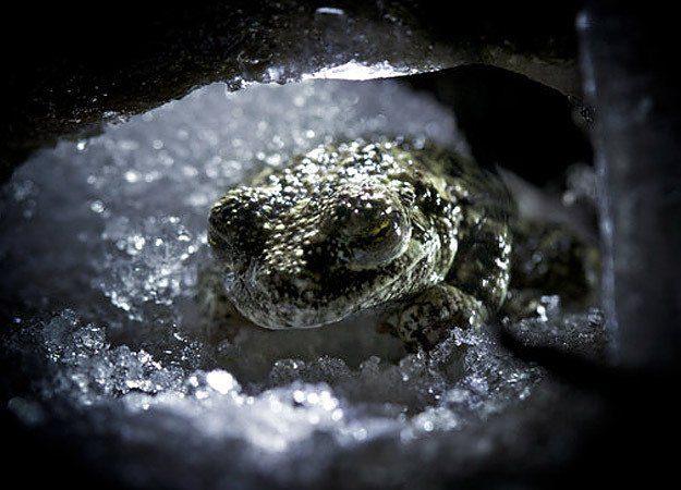 Alaskan tree wood frog