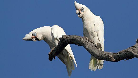 australian white sulphur crested cockatoos