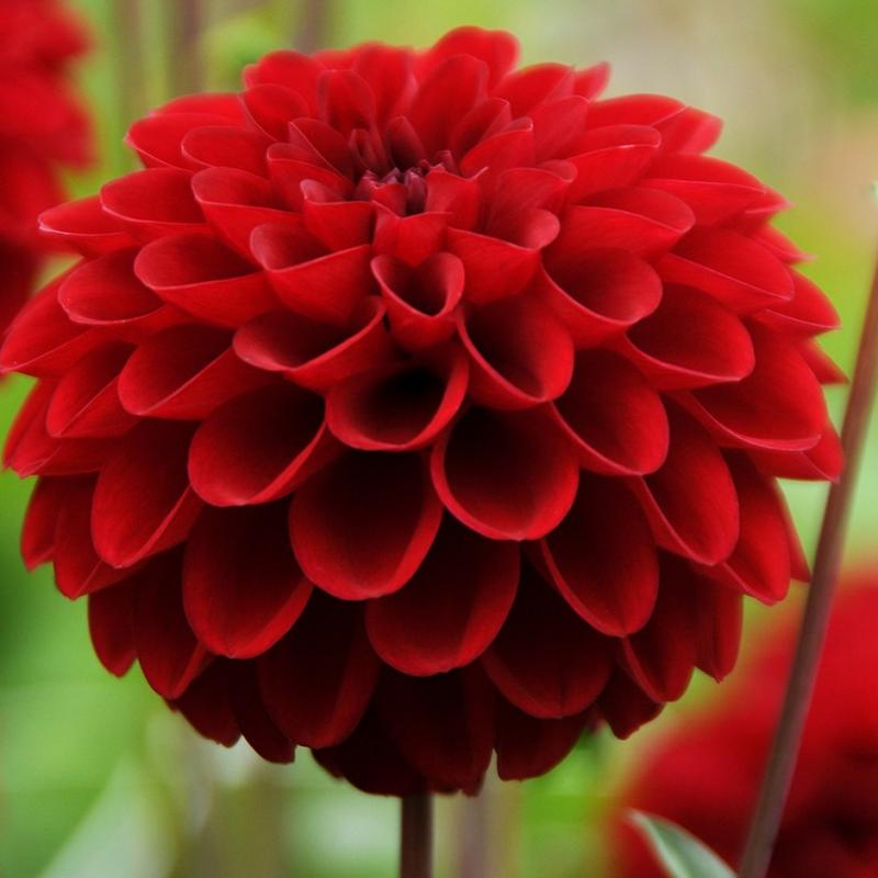 dahlia flowers beautiful how to grow them