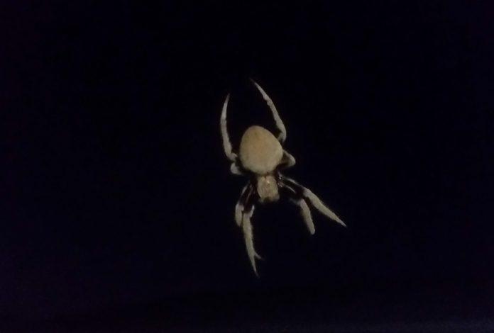 australian orb weaving spider