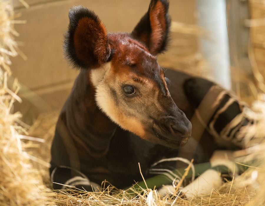 baby okapi at disney s animal kingdom
