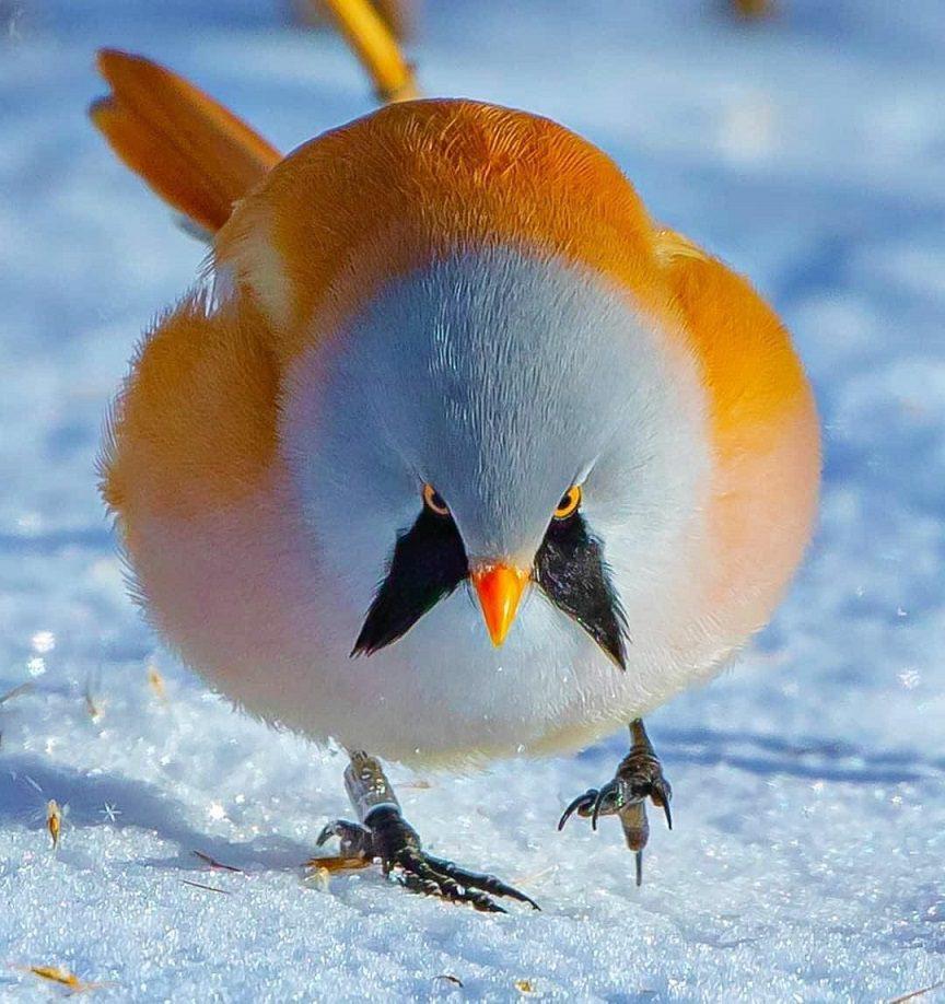 bearded reedling beautiful birds