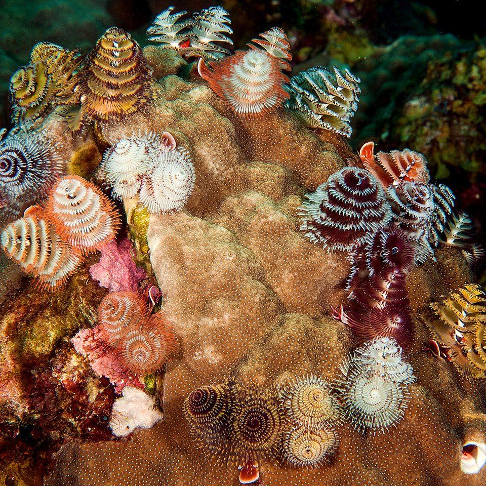 christmas tree worms sea