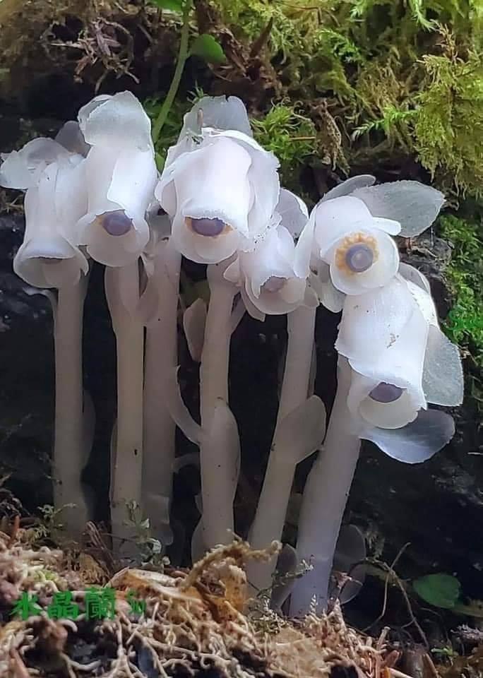 indian pipe plant unique beautiful plants flowers