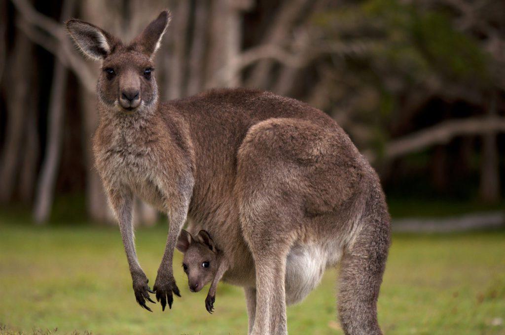 kangaroo pouch joey
