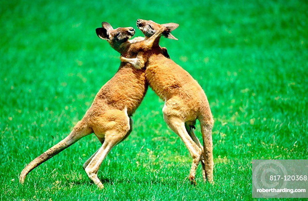 kangaroos boxing fighting