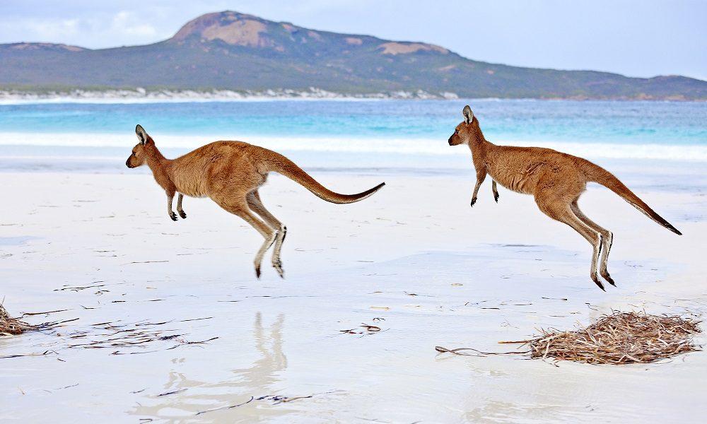 kangaroos hopping beach