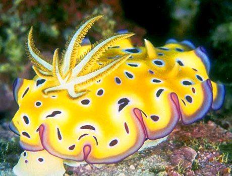 Nudibranches sea slugs most colourful ocean life cretures