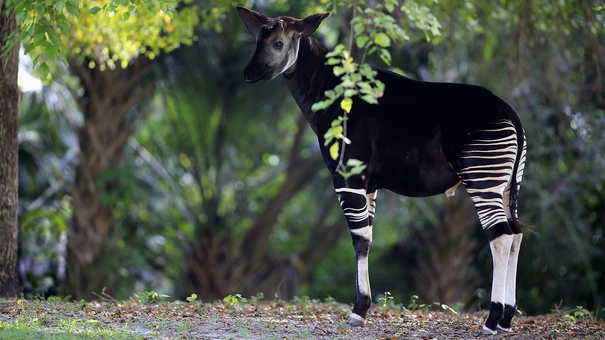 okapi strange unique animals