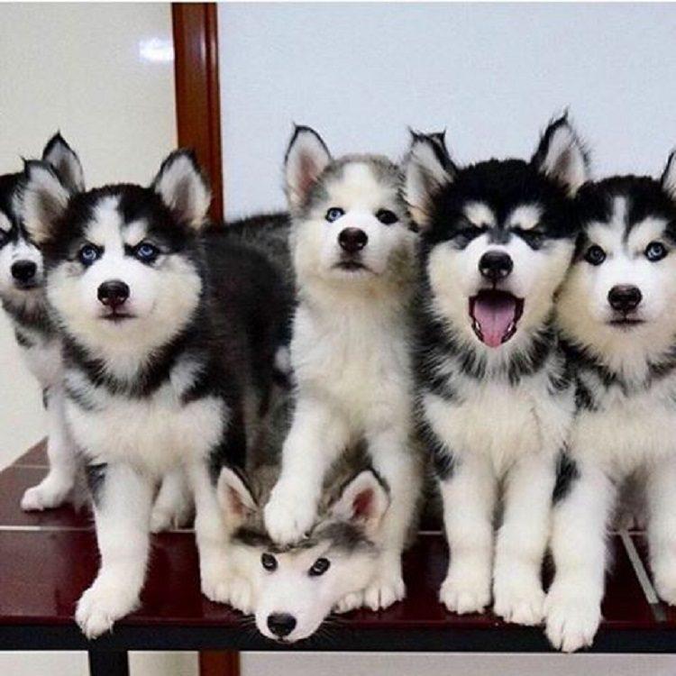 Siberian husky dog breeds sled sledge