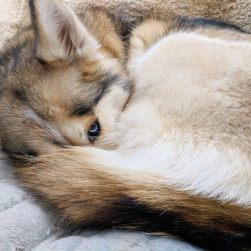 Siberian swirl husky tail curled up