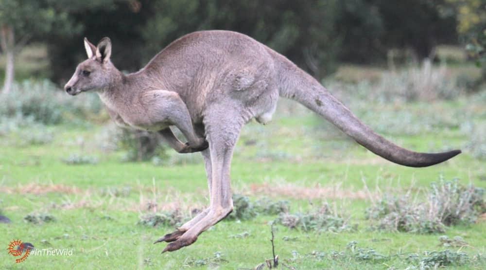 the eastern grey kangaroo