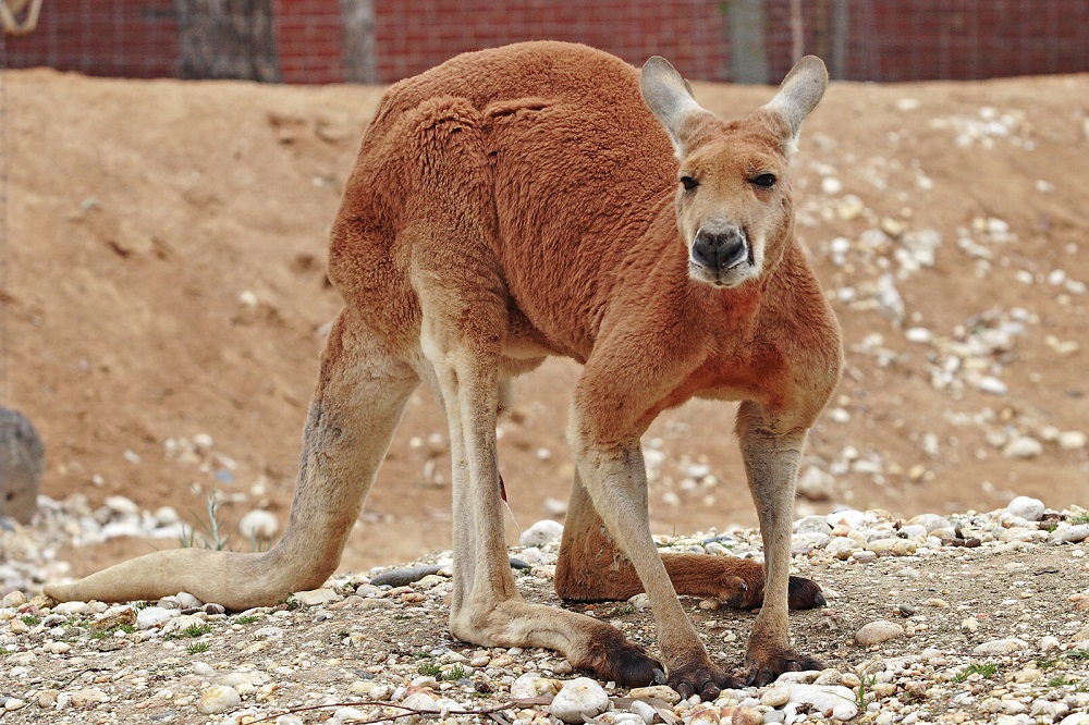 the red kangaroo
