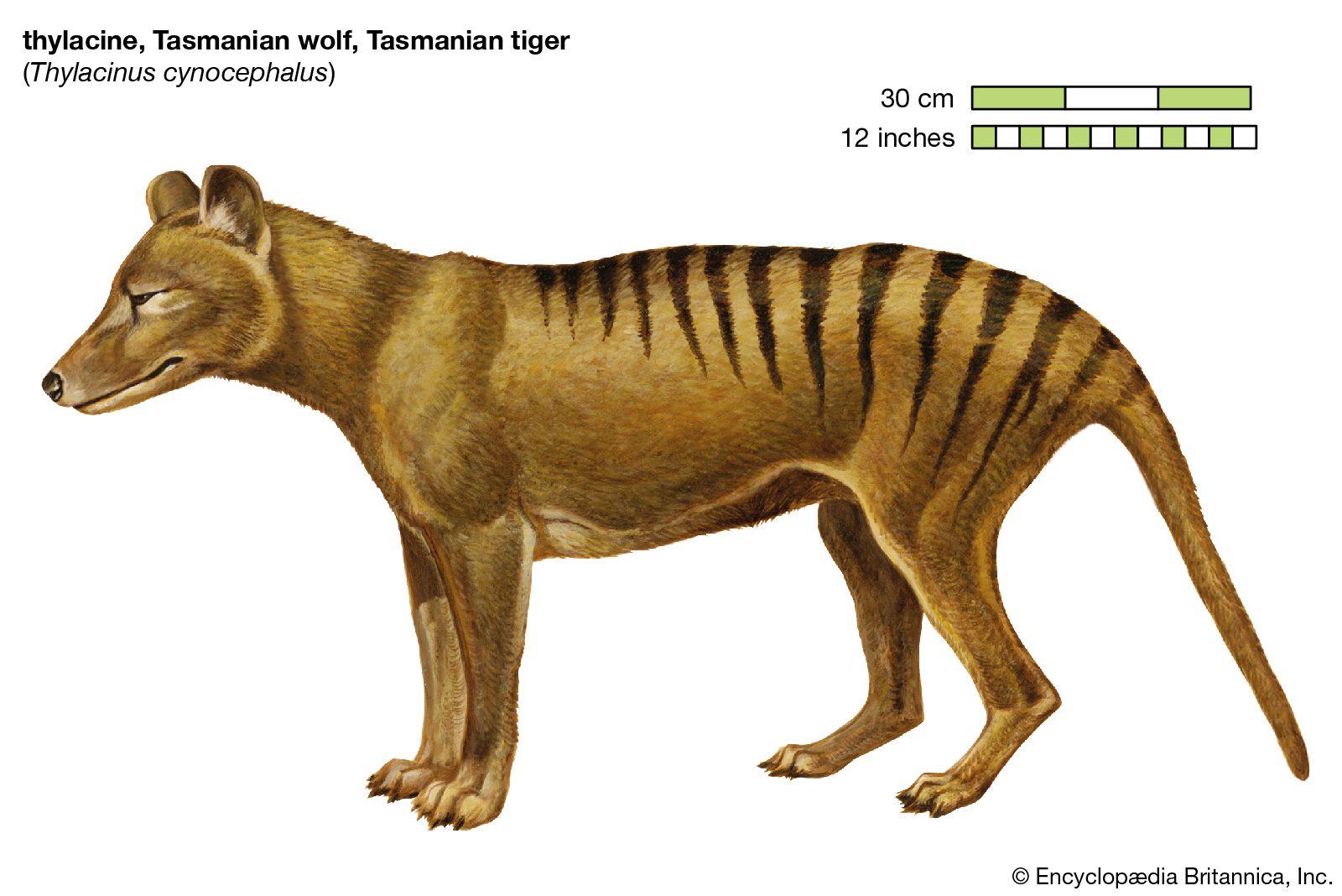 tiger tasmanian marsupial thylacine wolf island australia