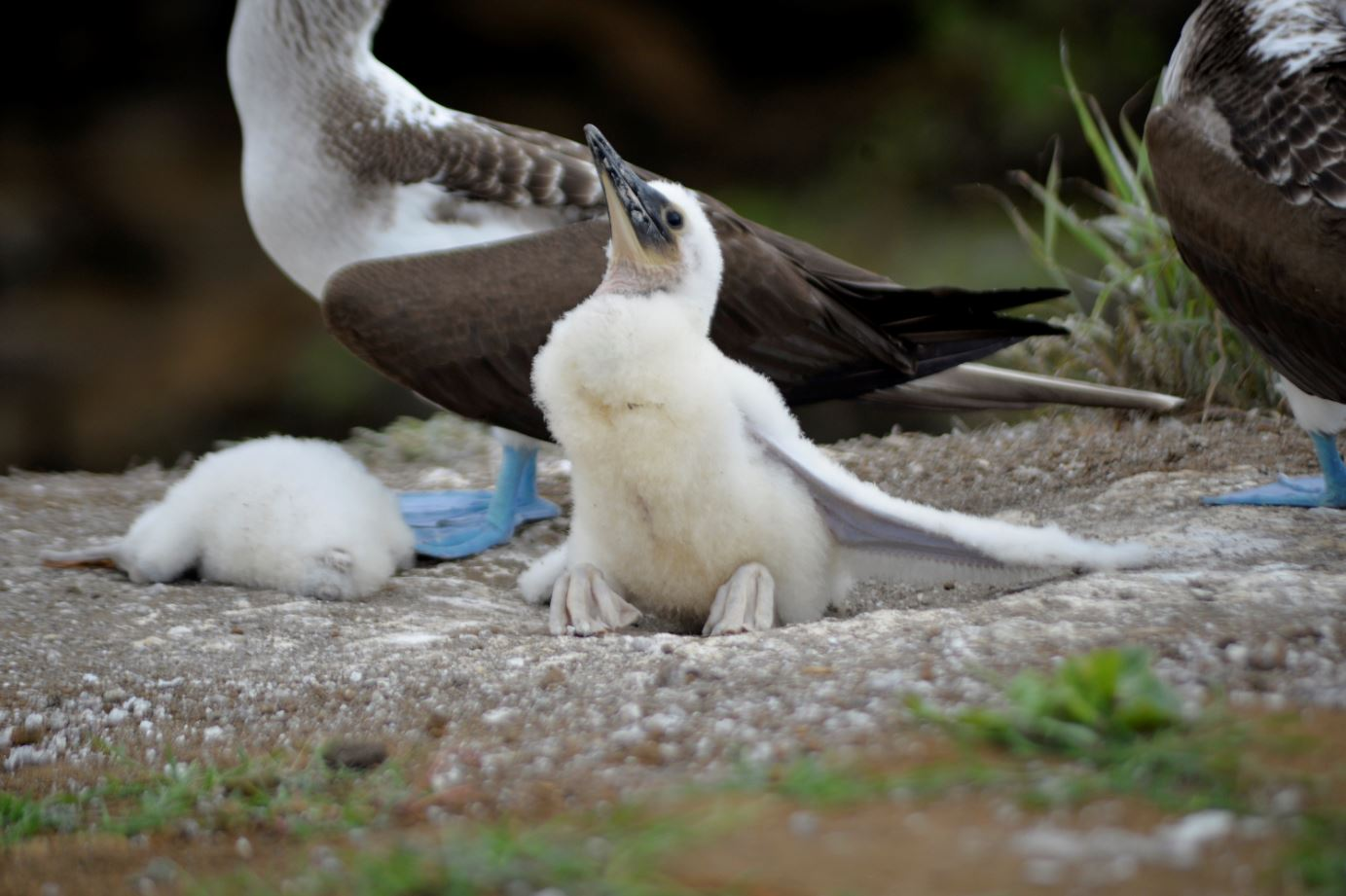 blue footed boobie chick
