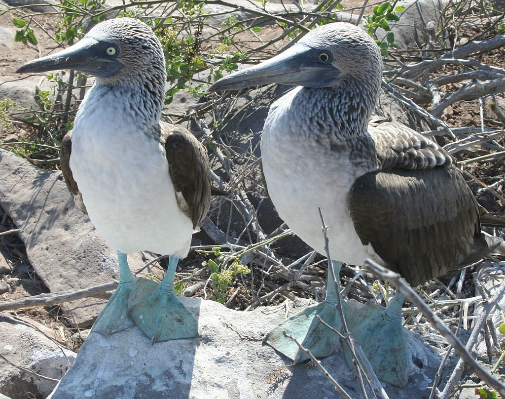 Px blue footed booby comparison
