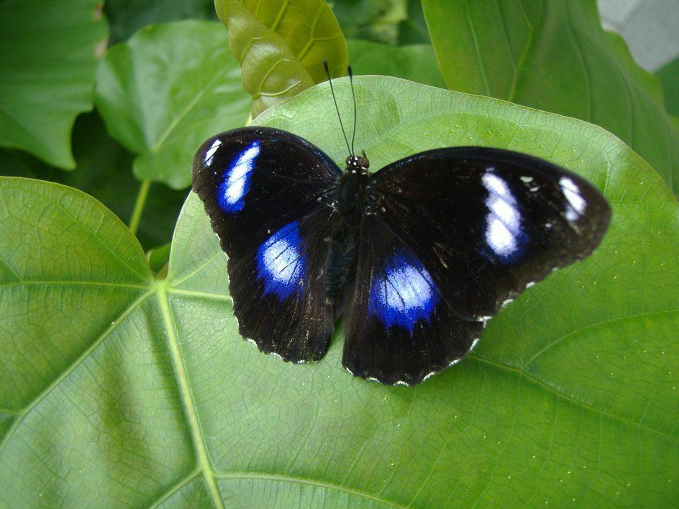 Male eggfly butterfly