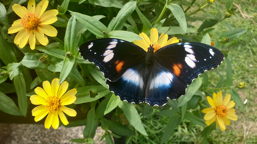 The common eggfly butterfly
