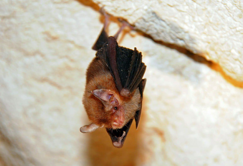 kitti s hog nosed bat