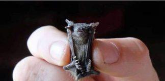the bumblebee bat