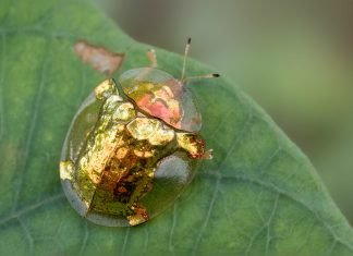 golden tortiose beetle