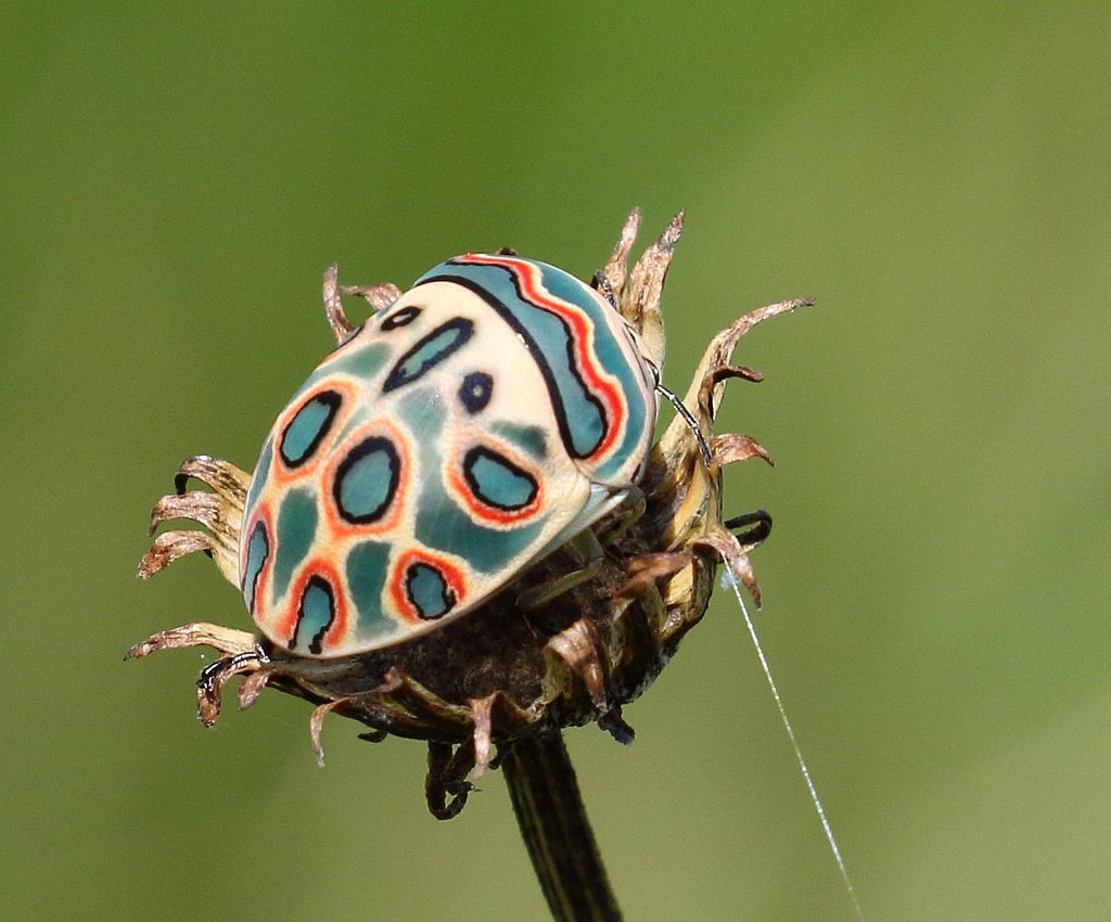Picasso beetle