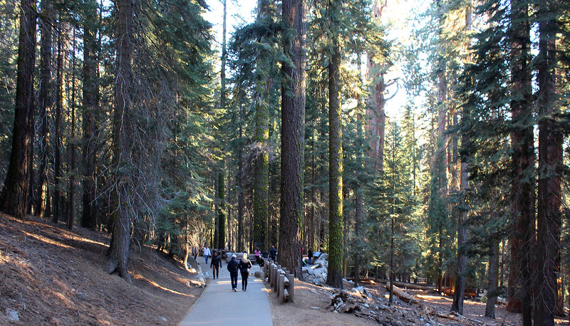 General sherman tree trail giant forest sequoia national park california