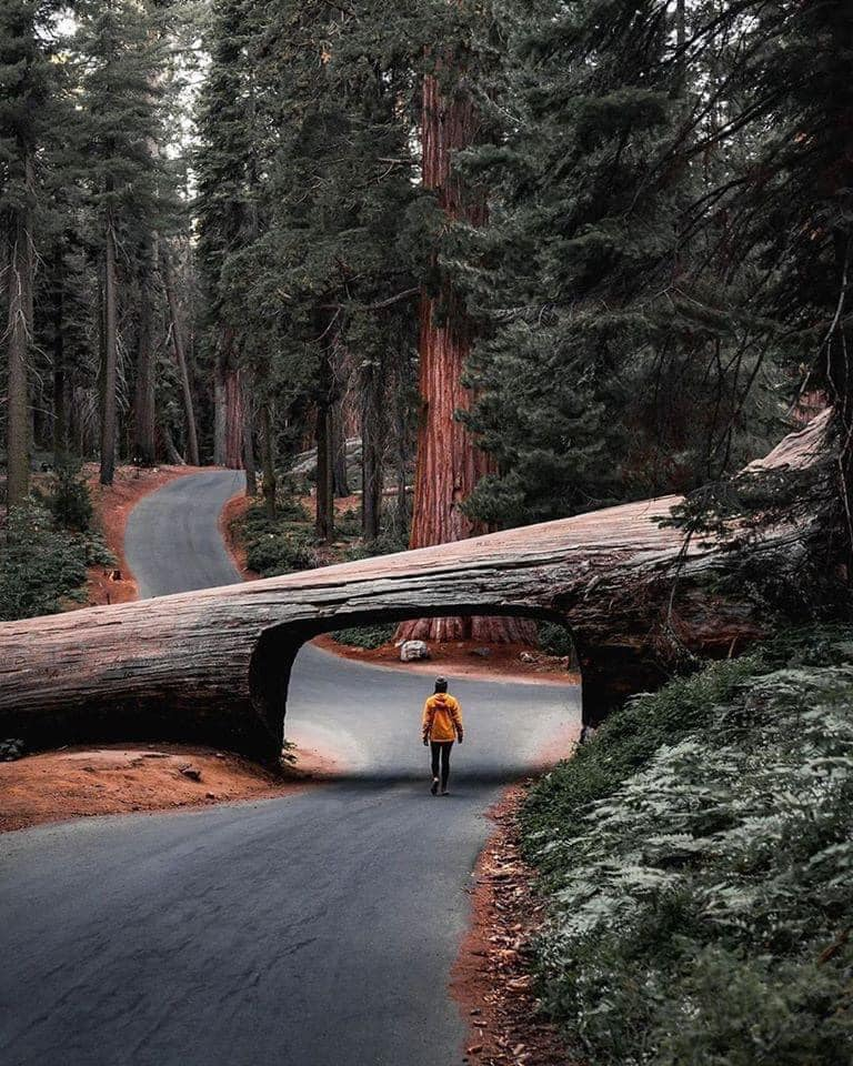 Sequoia national parks tunnel log